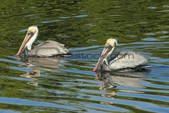 Pair of Brown Pelicans (pelecanus occidentalis)