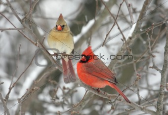 Pair of Northern Cardinals (cardinalis cardinalis)