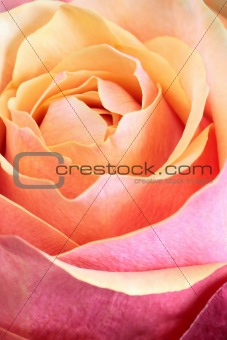 Single orange and pink rose