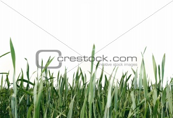 green grass isolated over white