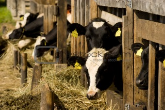 Cows in feeding place