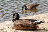 Geese at Lake