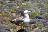 Gull in the Water