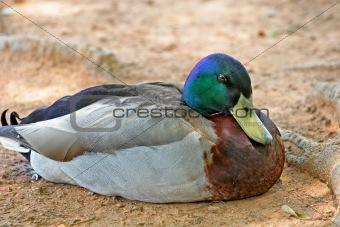 Sleepy Duck