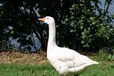 Snow White Goose