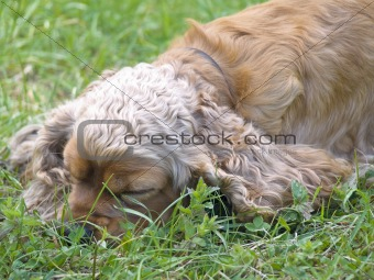sleeping spaniel