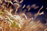 Autumn Grass in Sunset Light