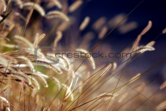Autumn Grass in Sunset Light