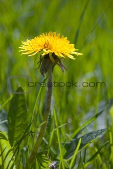Single Dandelion