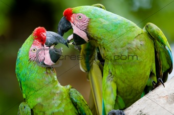 a pair of romantic military macaws