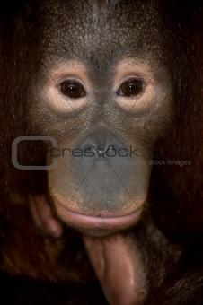 orangutan endangered primate