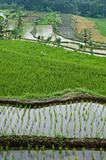 green rice field terraces
