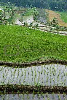 green rice field terraces
