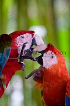 a pair of scarlet macaws playing