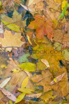 Autumn maple leaves in water