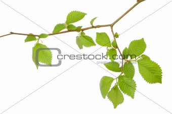 Branch of a tree