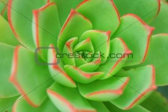 Green Aeonium Background