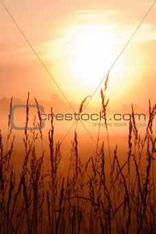 sunrise on wheat grasses