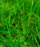 Lady-bird in summer grass