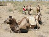 Camels in the Desert, Uzbekistan