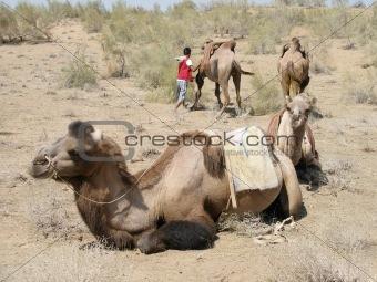 Camels in the Desert, Uzbekistan