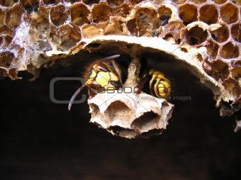 A hornet (Vespa crabro) rests.