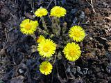 Coltsfoot flower
