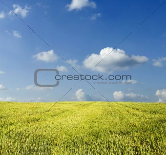Beautiful summer wheat field