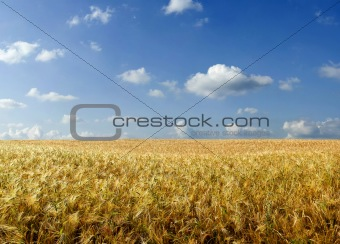 Beautiful summer wheat field
