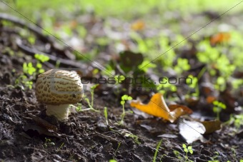 Forest mushroom in natural surroundings