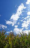 Corn field during summer