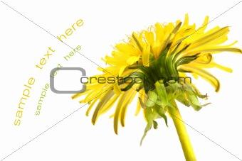 Close-up detail of a dandelion