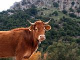 Cow looking at you.