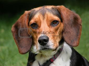 A Purebreed Beagle