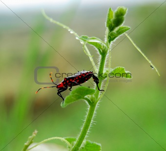 Red spotted bug
