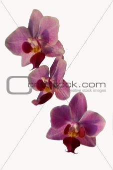 violet phalaenopsis