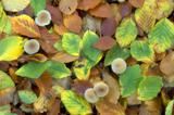 mushrooms surrounded by autumn leaves