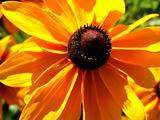 Daisy Flower 21