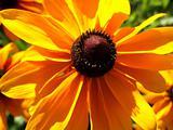 Daisy Flower 23