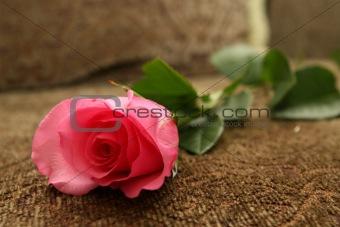 Beautiful Nurseling Rose