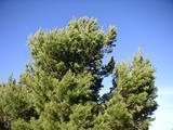 Australian Pinecone Tree