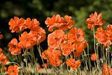 Poppy fliwers garden