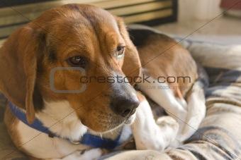 Beagle Dog Resting