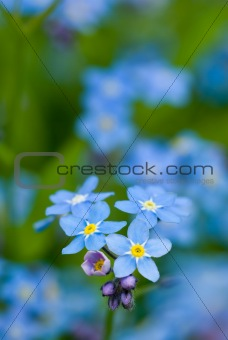 Group of wild forget-me-not flowers, selective focus.