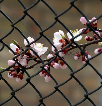 Branch of apricot with white flowers behind lattice