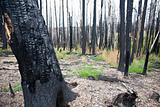 After Forest Fire Arizona USA (LA)