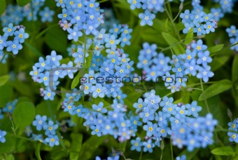 Group of wild forget-me-not flowers