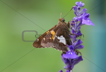 Skipper Butterfly On A Purple Flower