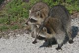 Baby Raccoons (Procyon lotor)