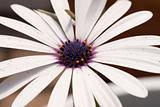 Close-up Daisy